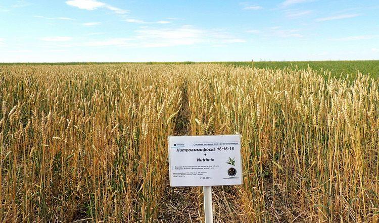 Посевы яровой пшеницы с использованием Системы Питания компании «ЕвроХим»