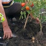 В Семее вырастили томаты и картофель на одном кусте