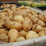 Рекордный урожай картофеля собрали растениеводы Шемонаихинского района ВКО