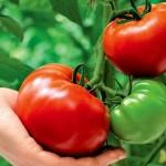 Фермеры Алматинской области возрождают славу помидоров