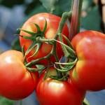 Тюлькубасские помидоры разбирают в Алматы