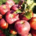 Тулькубасские садоводы собрали 24 тысячи тонн яблок сорта «Апорт»