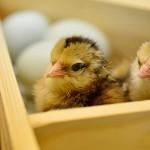 Многодетная бизнесвумен из ВКО займётся птицеводством
