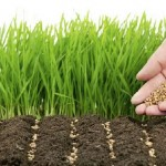 Новые сорта озимых – спасение в условиях засухи