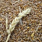 В Костанайской области фиксируют рост стоимости пшеницы на 30-40%