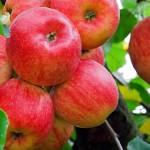 Жители Казахстана будут есть больше польских яблок