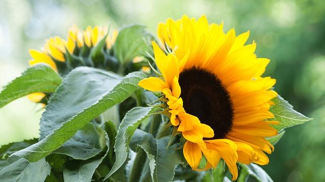 podsolnuh-sunflower-2684839_640