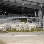 В пристоличном регионе открылся завод по переработке козьего молока