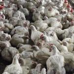 ФАО и партнёры призывают к сокращению использования антибиотиков в сельском хозяйстве