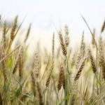 Россия: В Сибири к середине января пшеница двинулась вверх