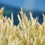 Новый Налоговый Кодекс добавит сложностей костанайским аграриям