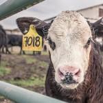 Сельхозпроизводители смогут без проблем переводить скот на учёт СПК