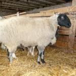 Абайский район в ВКО успешно производит первичную обработку овечьей шерсти