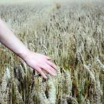 Уникальный сорт пшеницы создали учёные в Кызылорде