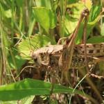 Нашествие саранчи ожидается в южных регионах Казахстана – Минсельхоз
