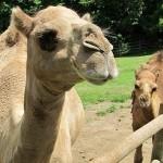 Заболевание верблюдов оспой в Мангистауской области не подтвердилось – МСХ