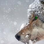 Жители отдаленных районов ВКО борются с нашествием волков