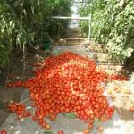 Теплицы дают три урожая в год