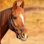 Владельцы лошадей в Костанайской области могут получить субсидии на чипирование лошадей