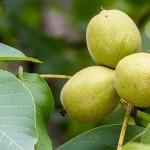 Выращивать грецкий орех в Казахстане – не экзотика