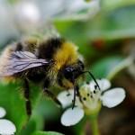 Европа назвала три пестицида, из-за которых умирают пчёлы