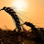 Учёные поняли, как спасти зерновые от теплового стресса