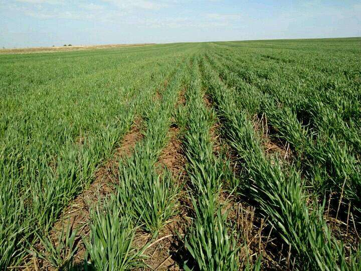 Посевы озимой пшеницы в весенний период (Агрофирма «Восход»)