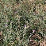 Победить горчак: агроном в Акмолинской области поделился опытом борьбы со злостным сорняком
