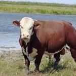 «Казахская белоголовая порода КРС на грани исчезновения» – депутат
