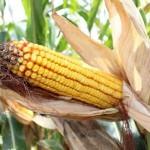 В ЮКО в качестве эксперимента приступили к выращиванию гибридной кукурузы сорта «Ладожский»
