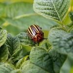 Канадские учёные подарят миру картофель без колорадского жука
