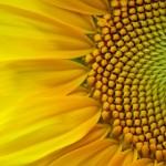 Что нового под солнцем: масличные семена от Штрубе