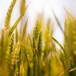 СКО: Опытные агрономы дают советы земледельцам региона