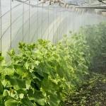 Қызылордада мектеп жанындағы жылыжай өнім бере бастады