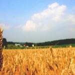 В Казахстане создают сорта пшеницы, приспособленные к меняющейся окружающей среде