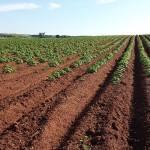 В Северо-Казахстанской области будут больше выращивать картофеля и овощей