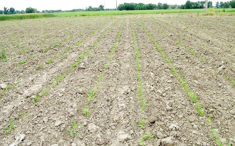 Всходы кукурузы по технологии «Strip-Till»