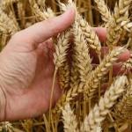 Рост цен на казахстанское зерно отразился на Кыргызстане