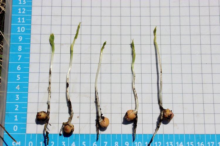 Можем видеть, что растение абсолютно здоровое и не поврежденное болезнями и насекомыми. Корневая система развивается хорошо / Фото: ©ТОО «Август-Казахстан»