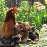 Как в Казахстане развивают безотходное птицеводство
