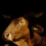 Вспышка бруцеллёза у коров зафиксирована в Северном Казахстане