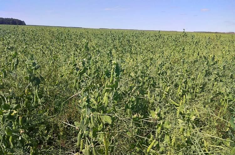 Фаза налива семян гороха / Фото: ТОО «Август-Казахстан»