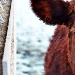 Основной прирост скота в Айыртауском р-не СКО обеспечивают мелкие с/х формирования