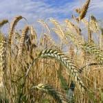 Богара Уйгентаса бьёт все рекорды по урожайности