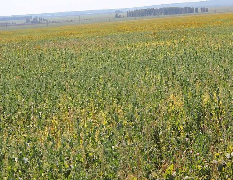 Посевы гороха, не обработанные Парадоксом + ПАВ Адью / Фото: ТОО «Август-Казахстан»