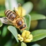Зарубежный эксперт: медоносная пчела – залог повышения урожайности