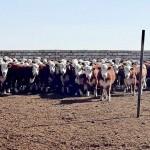 В Казахстан завезена первая партия племенных коров, закуп которых осуществлён по обновлённой программе «Сыбаға»
