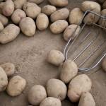Павлодар басқа өңірлерді картоппен қамтамасыз етіп отыр