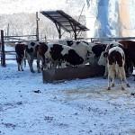 Коров из Европы привезли в Зыряновск