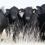 Секрет спроса на племенных австралийских быков